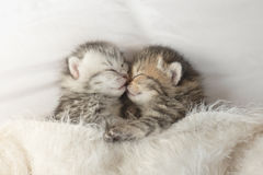 Cute tabby kittens sleeping and hugging. On white bed Royalty Free Stock Photos