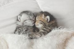 Cute tabby kittens sleeping and hugging. On white bed Stock Photo