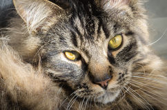 Cute tabby Maine Coon with deep yellow eyes Royalty Free Stock Photography