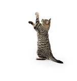 Cute tabby playing on white Stock Photography