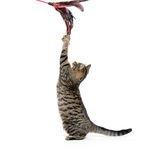 Cute tabby playing on white Stock Photo