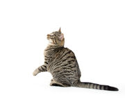 Cute tabby playing on white Stock Photos