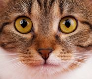 Cute tabby Royalty Free Stock Image