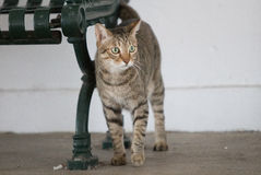 Cute tabby rubbing on bench royalty free stock image