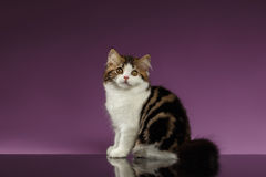 Cute Tabby Scottish straight Kitten Sits on Purple Royalty Free Stock Images