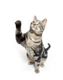 Cute tabby swinging its paw Royalty Free Stock Photo