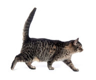 Cute tabby walking Royalty Free Stock Photos
