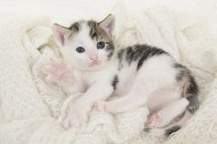 Tabby and white baby cat lying on its back playing on a off white background. Cute tabby and white baby cat lying on its back playing on a off white background Royalty Free Stock Photo