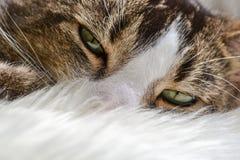 Cute tabby white cat Stock Image