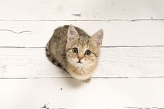 Cute tabby young cat looking up seen from a high angle view on a. White wooden background Stock Photo