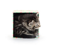 Cute taby kitten in box Stock Images