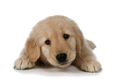 Cute tan puppy on belly with head up looking tired Stock Photo