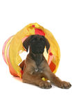 Cute tan puppy crawling out of yellow tunnel Stock Photography