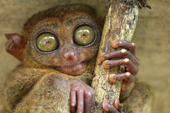 Cute tarsier with big green eyes Royalty Free Stock Photo