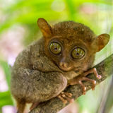 The cute tarsier in Bohol Stock Image