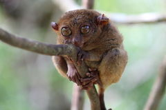 Cute tarsier Royalty Free Stock Images