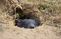 Cute Tasmanian Devil sleeping in den Stock Image