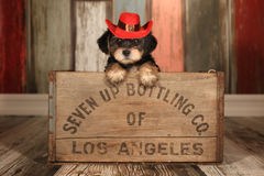 Cute Teacup Yorkie Puppy in Adorable Backdrops and Prop for Cale Royalty Free Stock Images