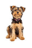 Cute Teacup Yorkshire Terrier Dog Royalty Free Stock Photo