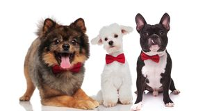 Cute team of three elegant dogs wearing bowties. While sitting and lying on white background Stock Photos