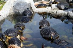 Cute terrapins in the water Royalty Free Stock Image