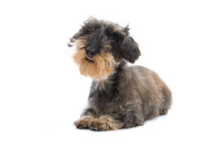 Free Cute Terrier Dog Stock Photography - 10760702