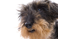 Cute terrier dog Stock Photography