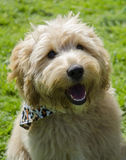 Cute terrier Dog. Cute terrier/crossbreed dog in park Royalty Free Stock Photography