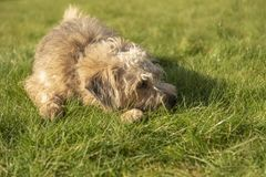 Cute Terrier dog laying down. On grass royalty free stock photo