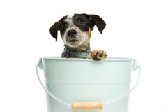 Cute terrier puppy in a bucket Stock Photo