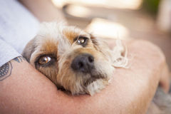 Cute Terrier Puppy Look On As Master Holds Her Royalty Free Stock Photos