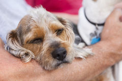 Cute Terrier Puppy Look On As Master Holds Her Royalty Free Stock Photography