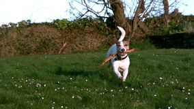 Cute terrier running with a stick in the countryside stock footage
