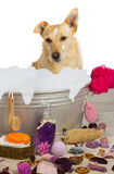Cute terrier sitting in a bath full of bubbles. Cute little golden terrier sitting in a metal bath tub full of bubbles surrounded by bathing accessories enjoying Stock Image