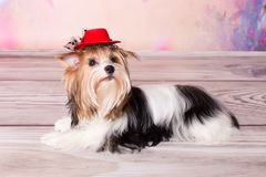 Cute small terrier. Cute terrier yorkie on the floor Stock Images