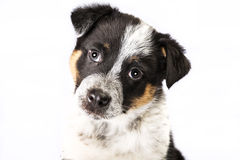 Cute Texas Heeler Puppy Royalty Free Stock Photo
