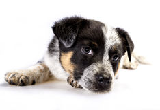 Cute Texas Heeler Puppy Royalty Free Stock Photography