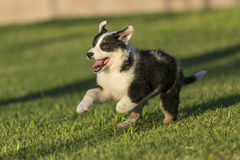 Cute Texas Heeler Puppy Running in the Park. Cute Texas Blue Heeler (a cross breed of Australian Cattle Dog and Australian Shepperd) puppy running in the park at royalty free stock photo