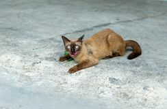 A cute thai cat, call siamese cat looking at the camera and show Pink tongue with cement floor background, selective focus. A cute thai cat, call siamese cat stock photos