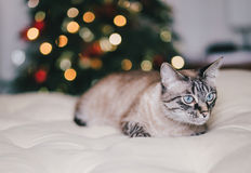 Cute thai cat with Christmas tree on the background Royalty Free Stock Photography