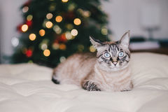 Cute thai cat with Christmas tree on the background Stock Photography