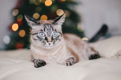 Cute thai cat with Christmas tree on the background Stock Photo