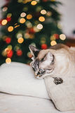 Cute thai cat with Christmas tree on the background Royalty Free Stock Photos