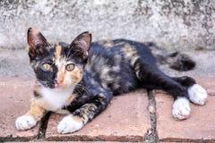 Cute thai cat. Lying in relax on floor stock photo
