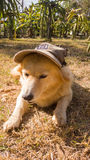 Cute thai dog with cap. Lay down in the garden Royalty Free Stock Photo