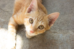 Cute thailang shorthair cat kitten Royalty Free Stock Images