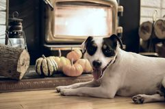 Cute Thanksgiving dog near fireplace. A cute Jack Russell dog relaxing near fireplace in cozy Thanksgiving home with pumpkin decoration and fresh cut wood logs Stock Images