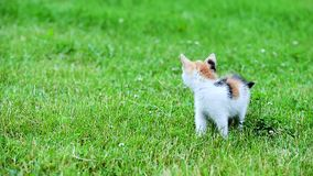 Cute three color kitten stock video footage