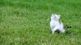 Cute three color kitten stock footage
