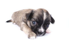 Cute three weeks old Chihuahua puppy close-up Stock Photos